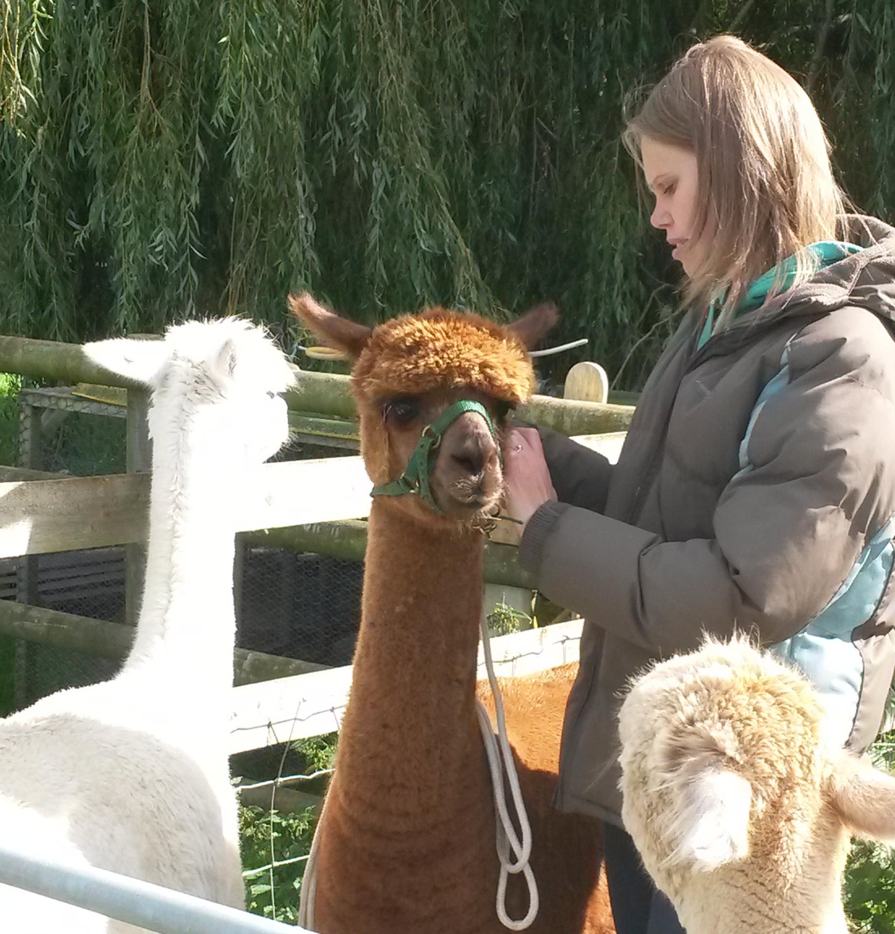 Haltering an alpaca