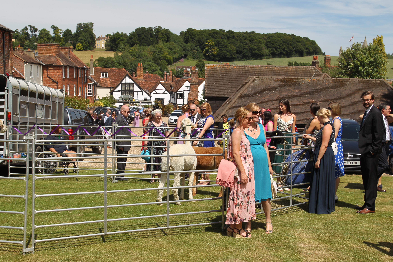 Amersham alpaca wedding