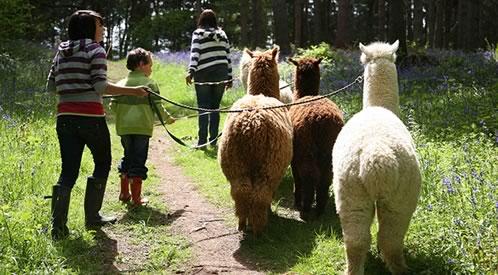 Alpaca Parties